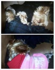 Our Yorkies - Rocky and Luigi